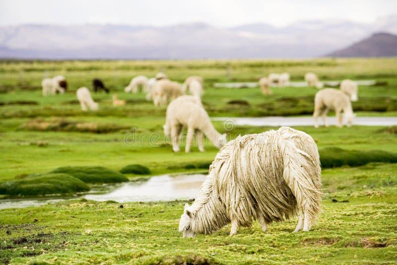 Alpacas, Perú fotos de archivo