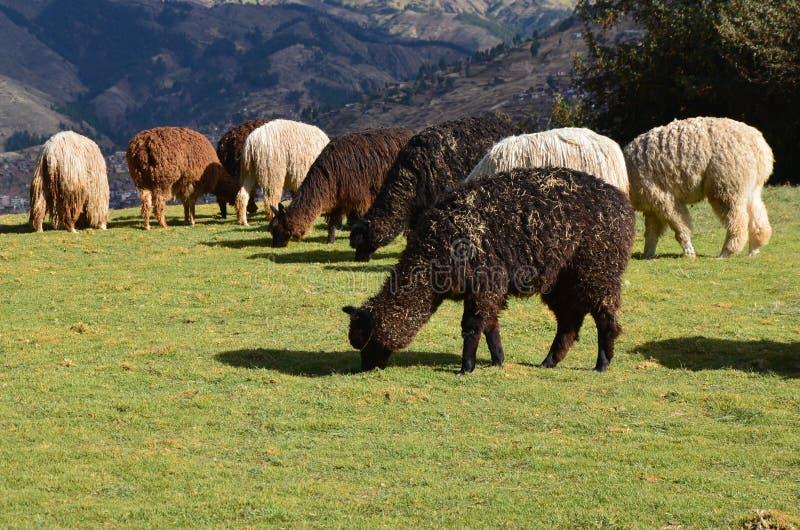 Alpacas van Cusco royalty-vrije stock fotografie
