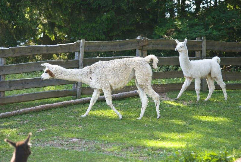 Alpacas van de lama royalty-vrije stock foto's