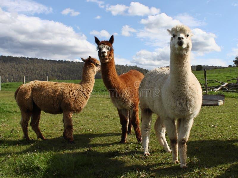 alpacaslantgård arkivfoto