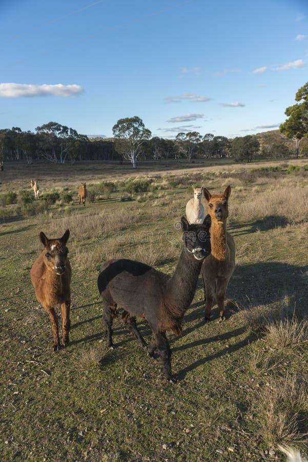 Alpacaslantgård i Australien royaltyfri bild