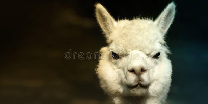 Alpacastående fotografering för bildbyråer