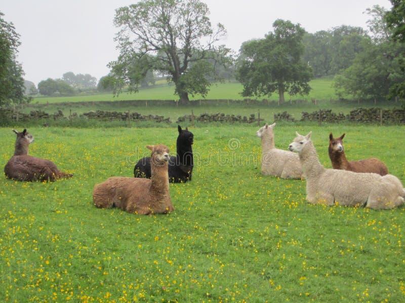 Alpaccas pigri immagini stock