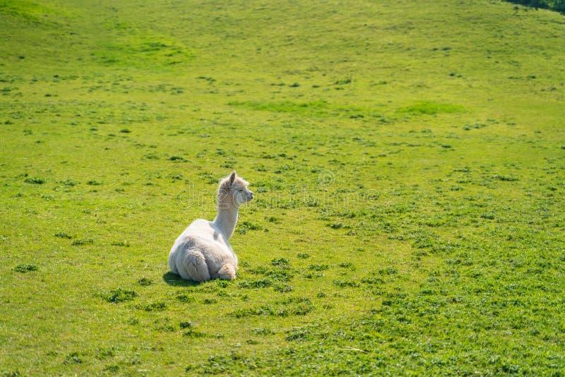 Alpaga blanc semblant drôle à la ferme photos stock