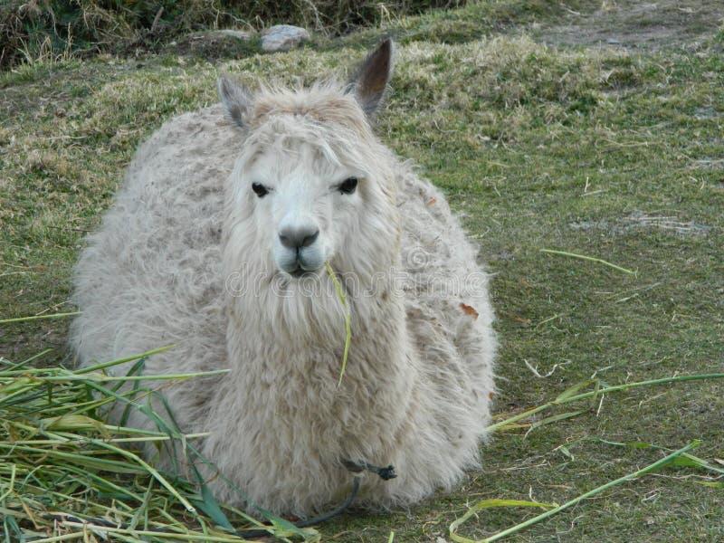 Alpaga che riposa sull'erba fotografie stock