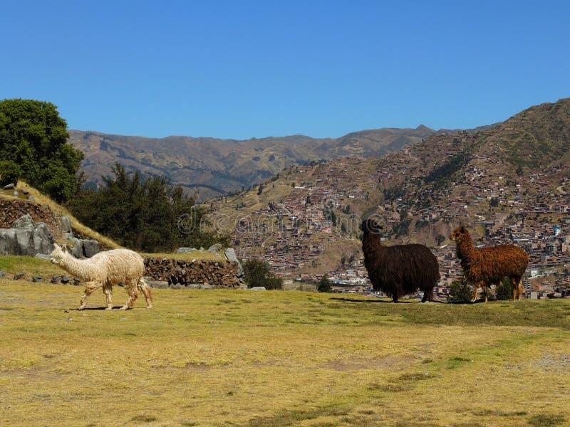 Download Alpaga dans Cusco, Pérou photo stock. Image du archéologie - 77154210