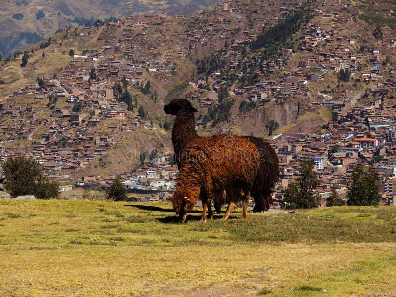 Download Alpaga dans Cusco, Pérou image stock. Image du forteresse - 77155893