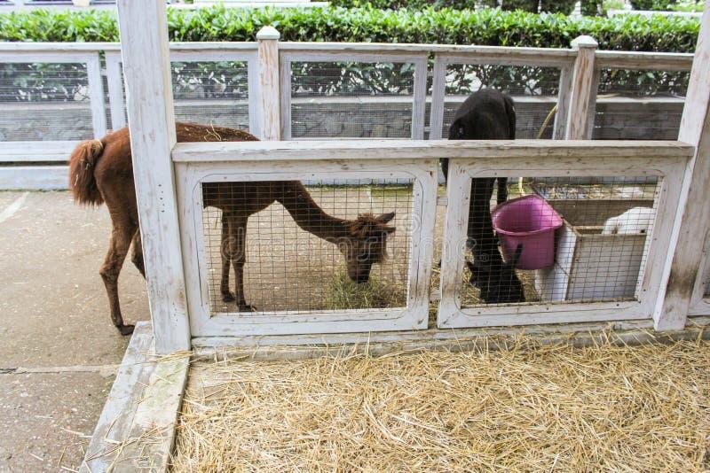 alpaga dans le zoo photo libre de droits