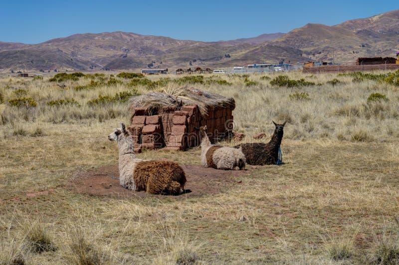 Alpaga dans Tiwanaku Bolivie photographie stock