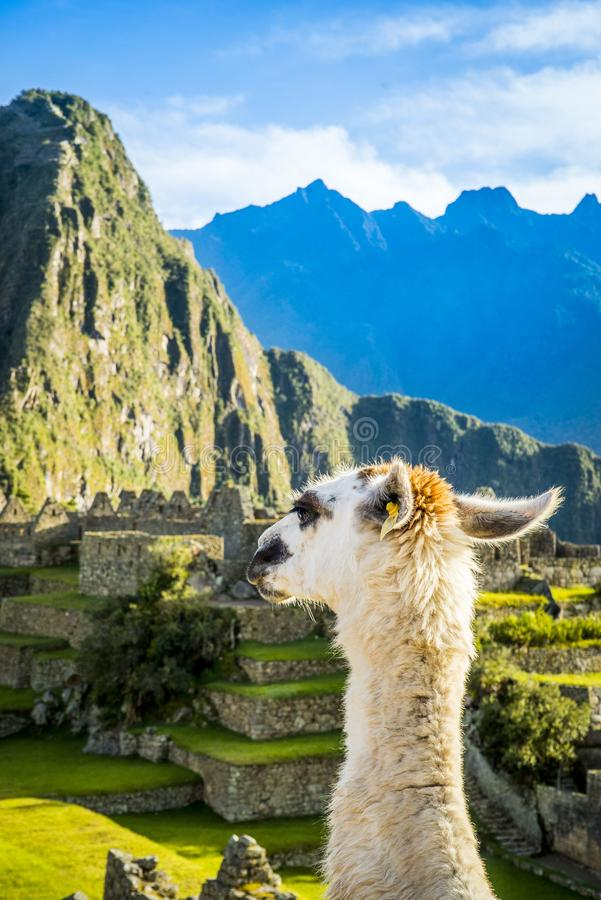 Alpaga en Machu Picchu foto de archivo libre de regalías