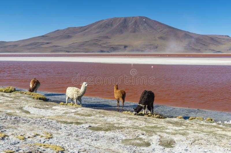 Alpaga Laguna Colorada, Boliwia fotografia royalty free