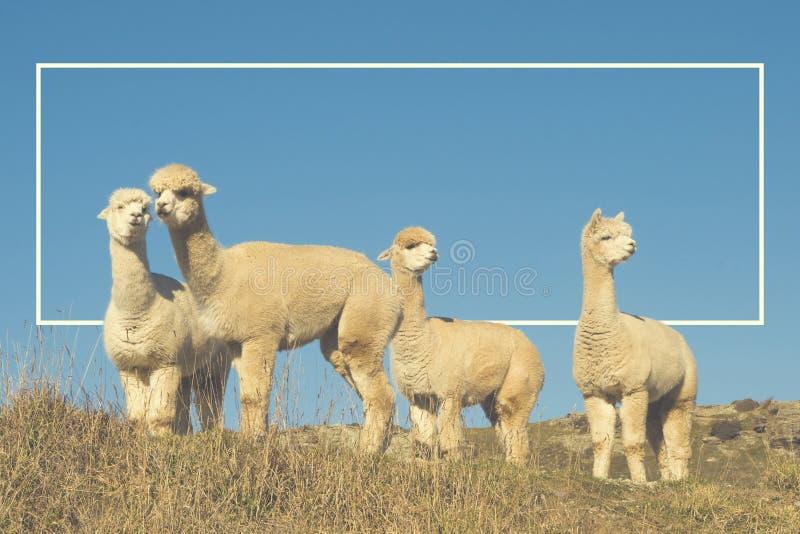 Alpaga Lama Shaggy Field Mountain Animals Concept immagine stock libera da diritti