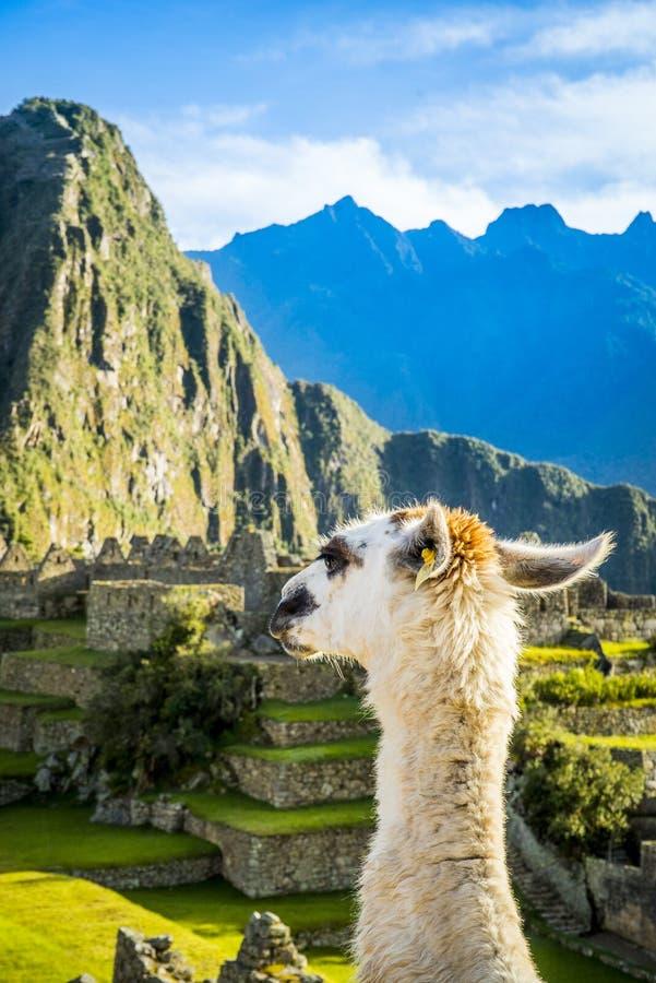 Alpaga in Machu Picchu royalty-vrije stock foto