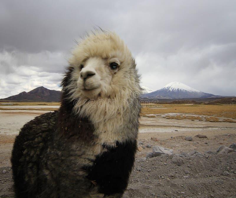 Alpaga przy Chile altiplano fotografia stock