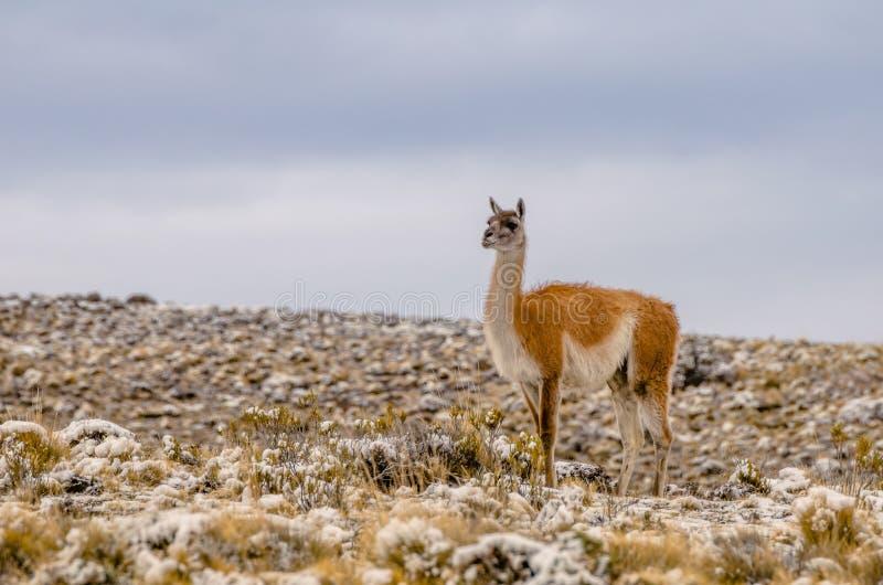 Alpaga sur un champ partiellement couvert dans la neige photos stock