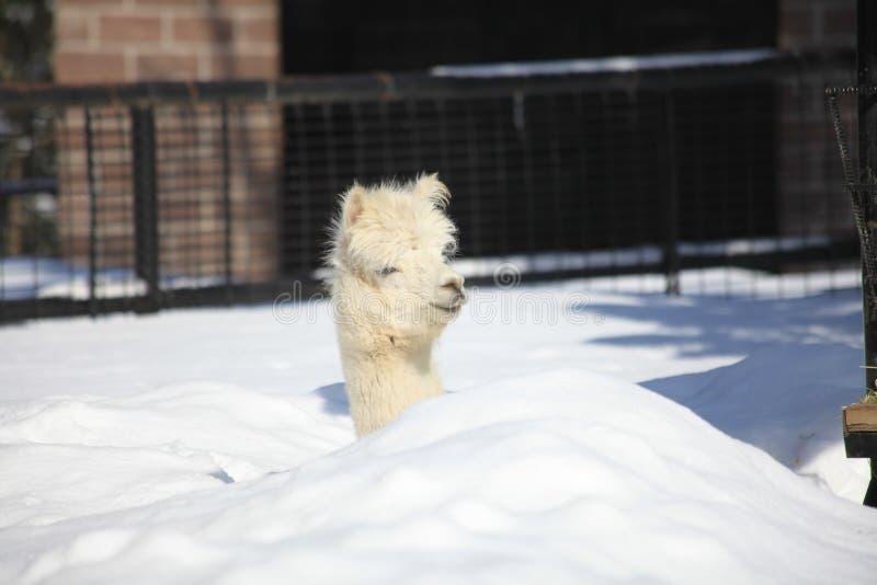 Alpaga, zoo de l'Alaska photographie stock libre de droits