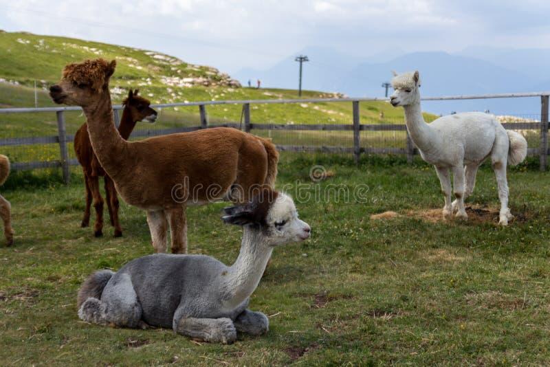 Alpagi na wierzchołku Halny BaldoMonta Baldo, Jeziorny Garda, Włochy fotografia stock