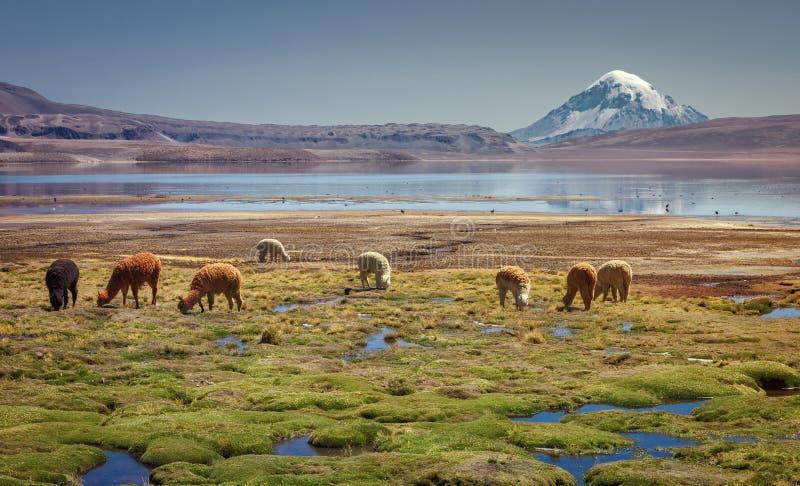 Alpagi Vicugna pacos pasa na brzeg Jeziorny Chungara przy bazą Sajama wulkan w północnym Chile, fotografia royalty free