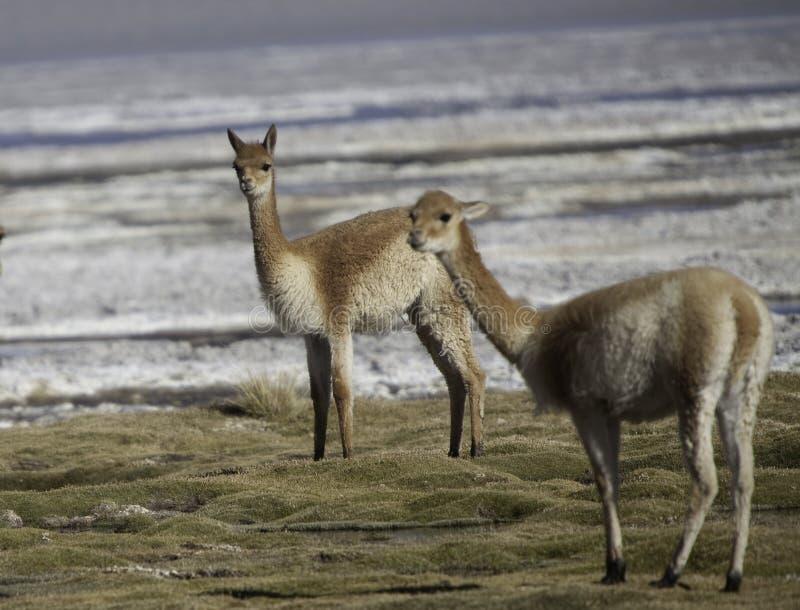 alpagowego antenata zwierzęcy lama vicuna dziki obraz stock