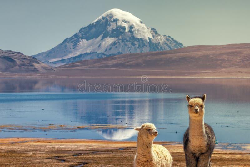 Alpagowi ` s Vicugna pacos pasa na brzeg Jeziorny Chungara a zdjęcie stock