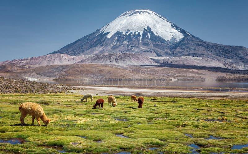 Alpagowi ` s Vicugna pacos pasa na brzeg Jeziorny Chungara a fotografia stock