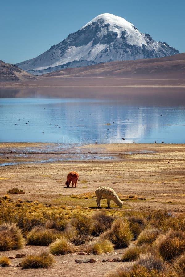 Alpagowi Vicugna pacos pasa na brzeg Jeziorny Chungara, wewnątrz zdjęcia stock