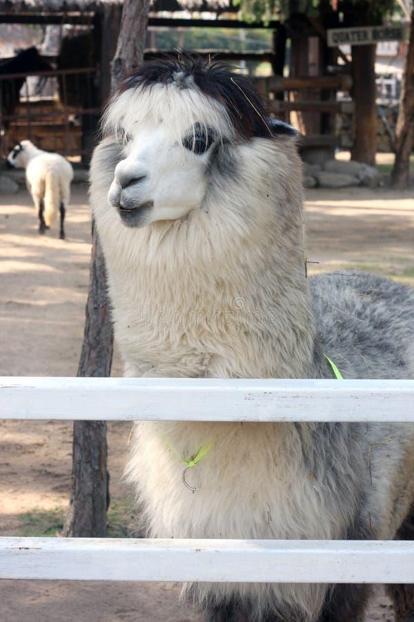 Alpaka στο αγρόκτημα στοκ εικόνα