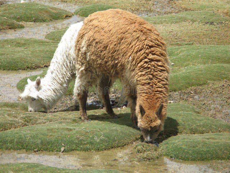 Alpaka στοκ εικόνα