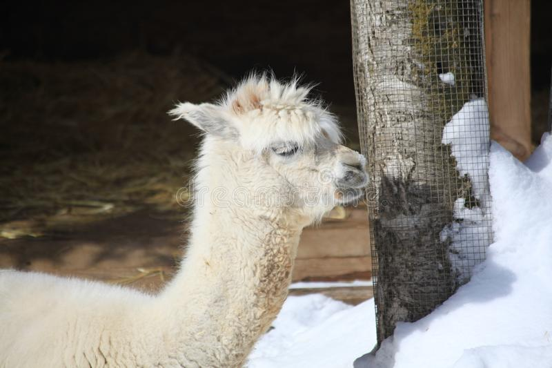 Alpaka in Alaska-Zoo stockfotografie