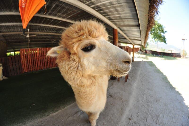 Alpaka-Bauernhof lizenzfreies stockbild