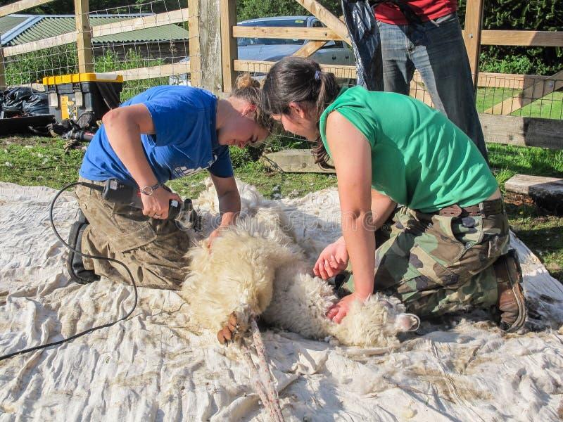 Alpaka, das auf einem BRITISCHEN Alpakabauernhof geschoren wird lizenzfreie stockfotos