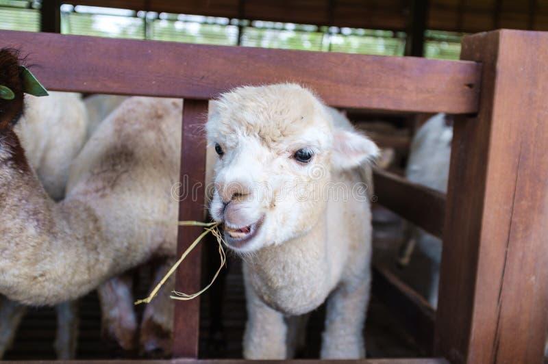 Alpaka, das Gras isst lizenzfreies stockbild