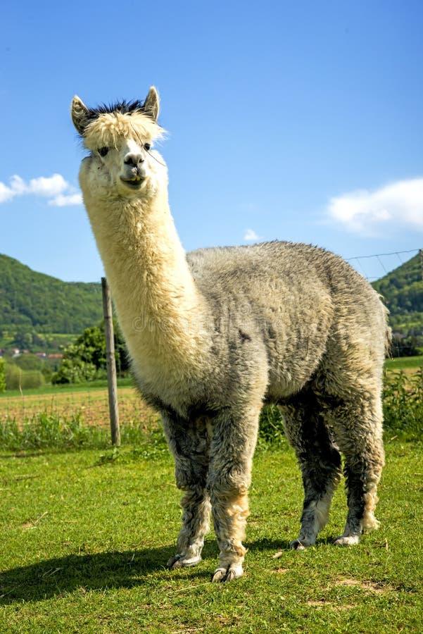 Alpaka, das neugierig schaut stockfotos