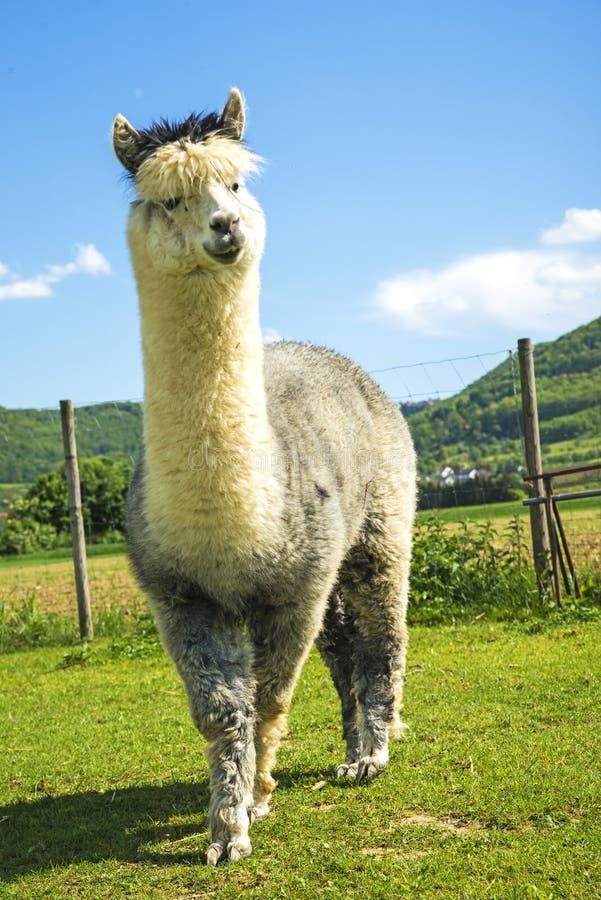 Alpaka, das neugierig schaut lizenzfreie stockfotos