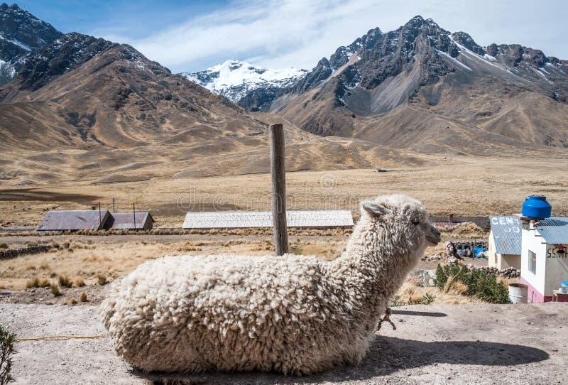 Alpaka in der Touristenattraktion des heiligen Tales lizenzfreie stockfotos