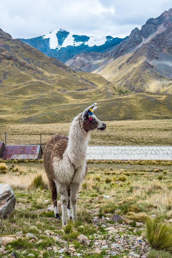 Alpaka in der Touristenattraktion des heiligen Tales lizenzfreies stockbild