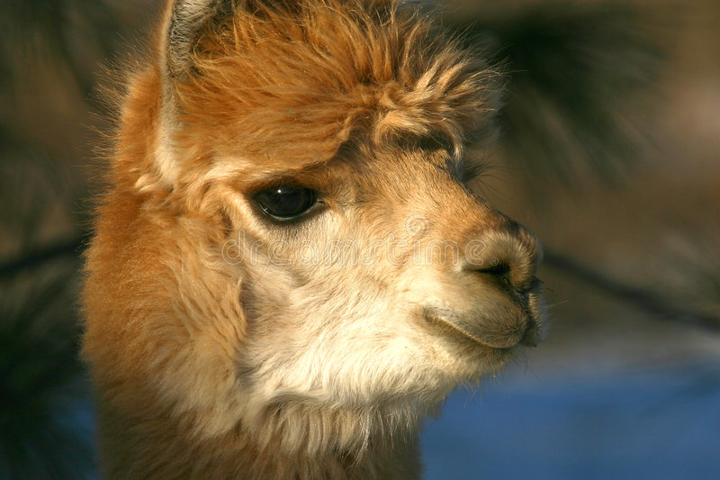 Alpaka-Gesicht lizenzfreies stockfoto