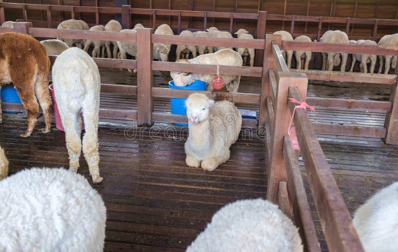 Alpaka im Bauernhof stockfotografie
