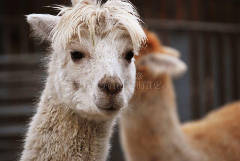 Alpaka im Kristallpalast-Park, London lizenzfreie stockfotos