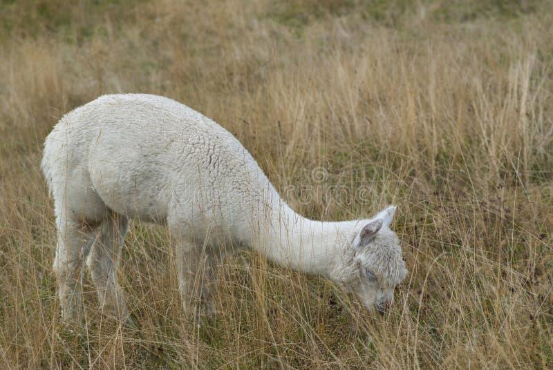 Alpaka isst Gras in einem Bauernhof während eines bewölkten Tages stockfoto