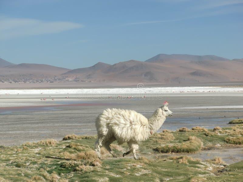 Alpaka in Laguna Colorada stockbilder
