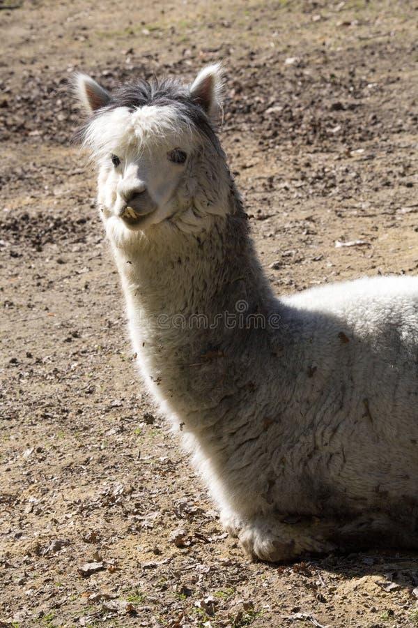 Alpaka, Lama guanicoe f Pacos ist Lamas einer inländische Zucht lizenzfreies stockfoto