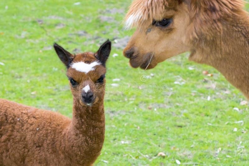 Alpaka (Lama pacos) cria stockfoto