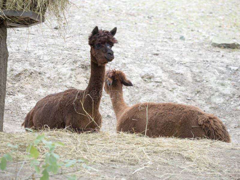 Alpaka lamaguanicoe f Pacos i Sydamerika är ett husdjur royaltyfri foto