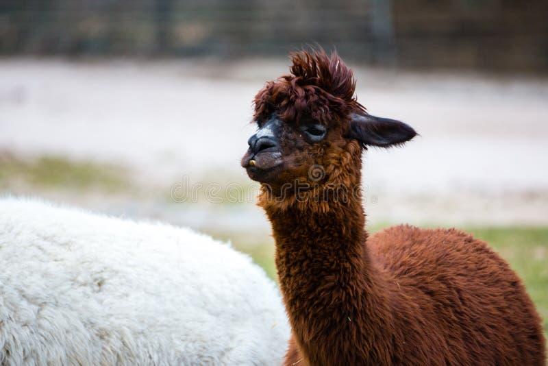 Alpaka mit dem wilden, unordentlichen, lustigen Haar stockfotos