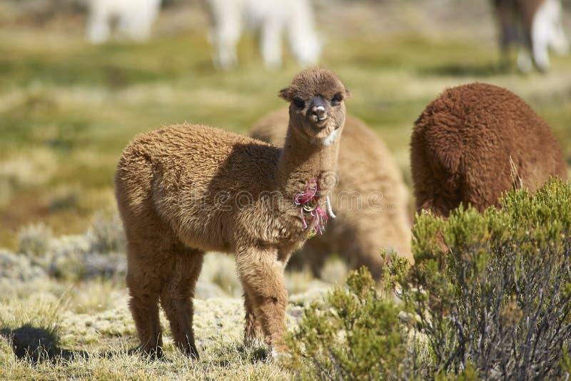 Alpaka in Nationalpark Lauca, Chile lizenzfreies stockbild