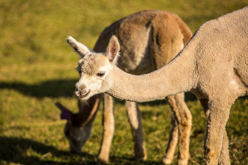 Alpaka-Porträt lizenzfreies stockbild
