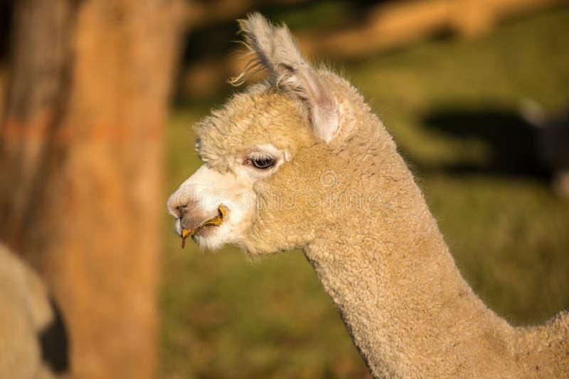 Alpaka-Porträt lizenzfreies stockfoto