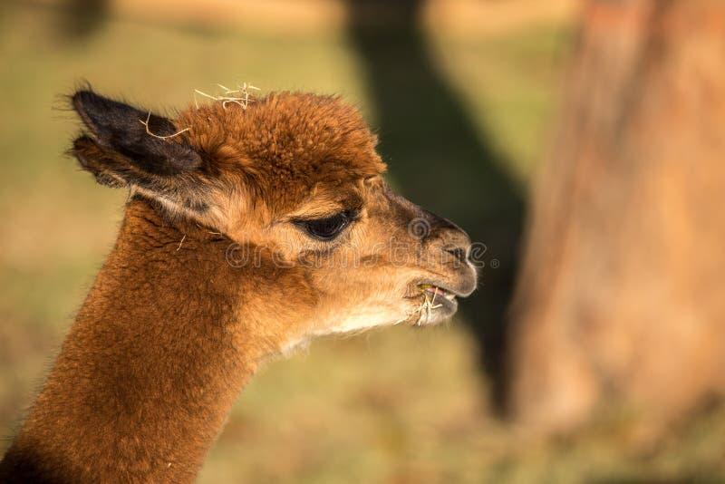 Alpaka-Porträt lizenzfreie stockbilder