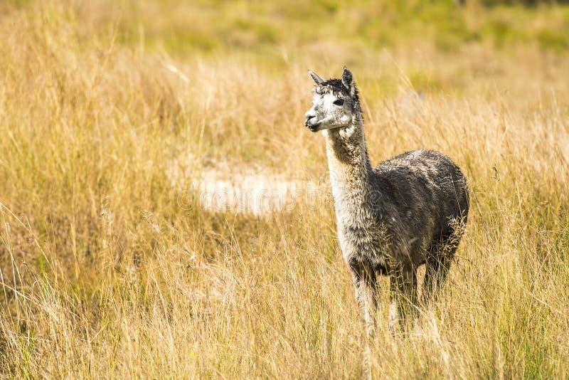 Alpaka an sich auf einem Gebiet lizenzfreies stockbild